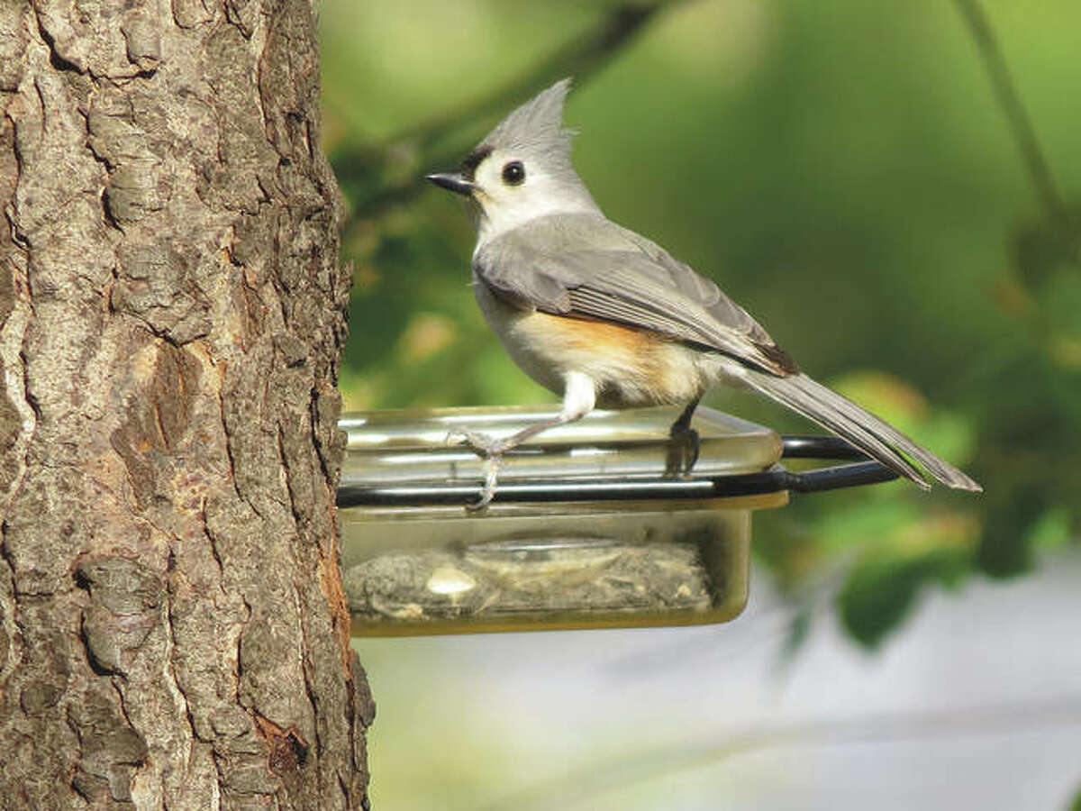 A tufted titmouse, a small songbird, sits on a feeder in a tree in Jacksonville.