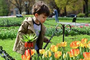 Jack Scullin, 2, of Albany looks at tulips in Washington Park on Tuesday, April 20, 2021 in Albany, N.Y. (Lori Van Buren/Times Union)