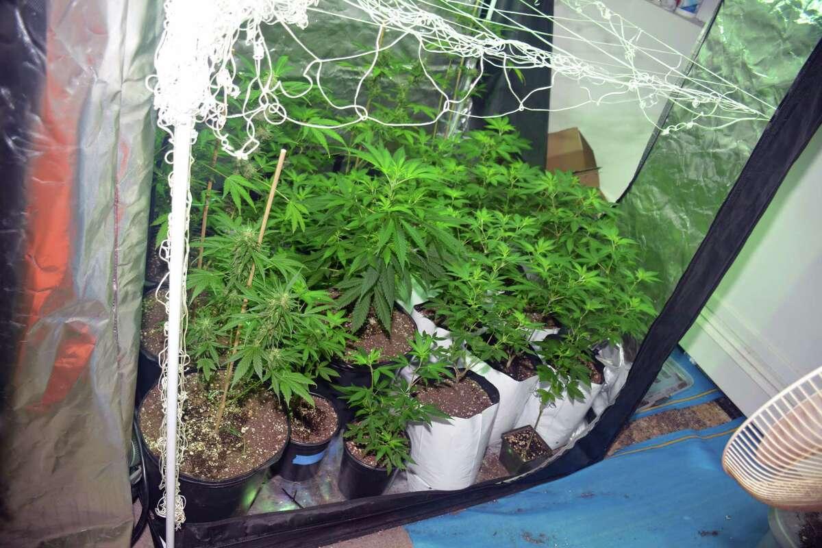Homegrown marijuana plants at a Connecticut house.