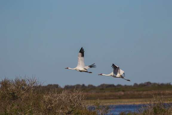 The whooping crane population at Aransas Refuge reached 506 birds this past winter. News of a second population that might be nesting is good news.