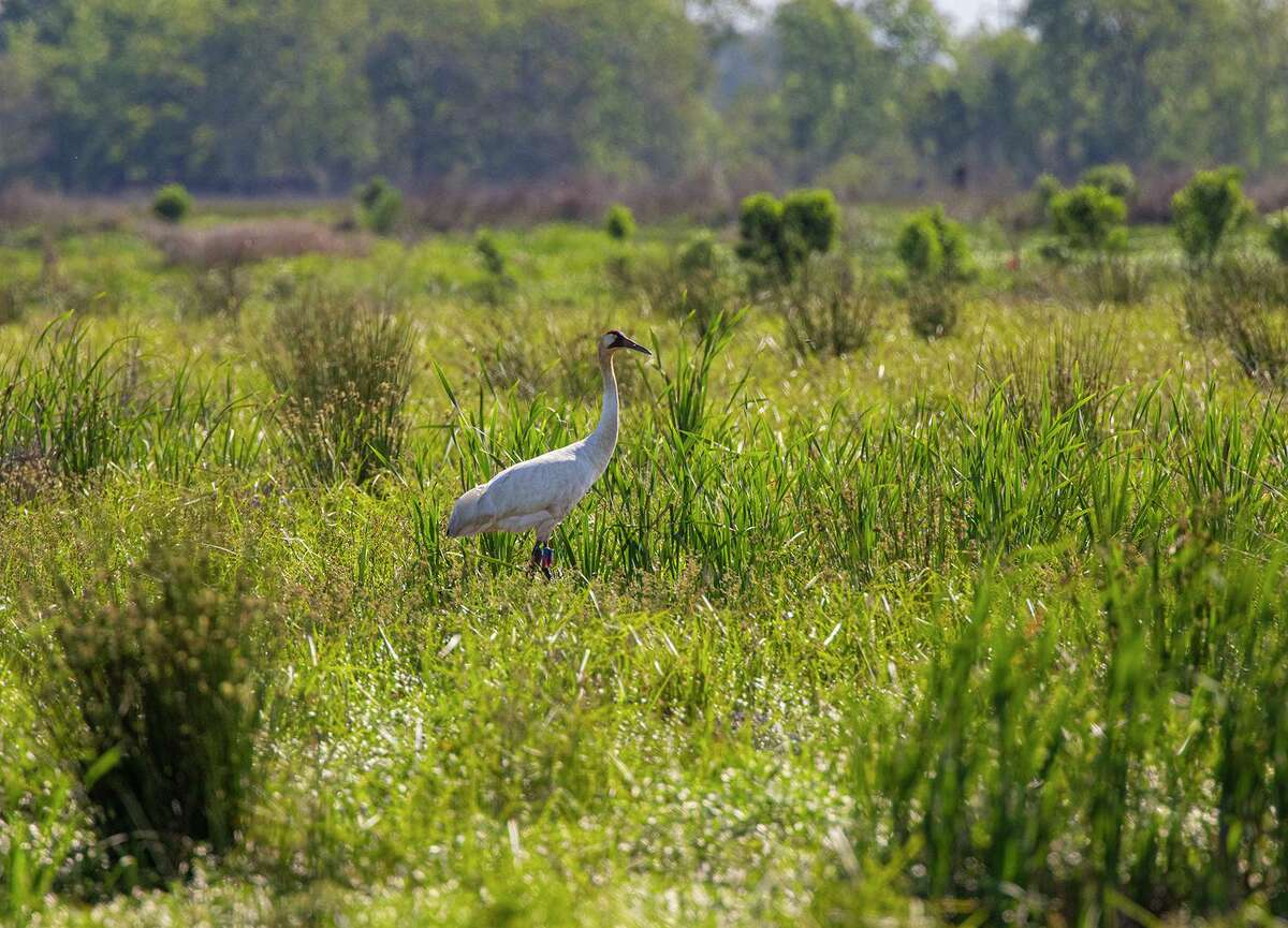 A whooping crane pair from Louisiana's non-migratory flock are nesting on private land in Chambers County, Texas. Not since the late 1800s have whooping cranes nested in Texas.