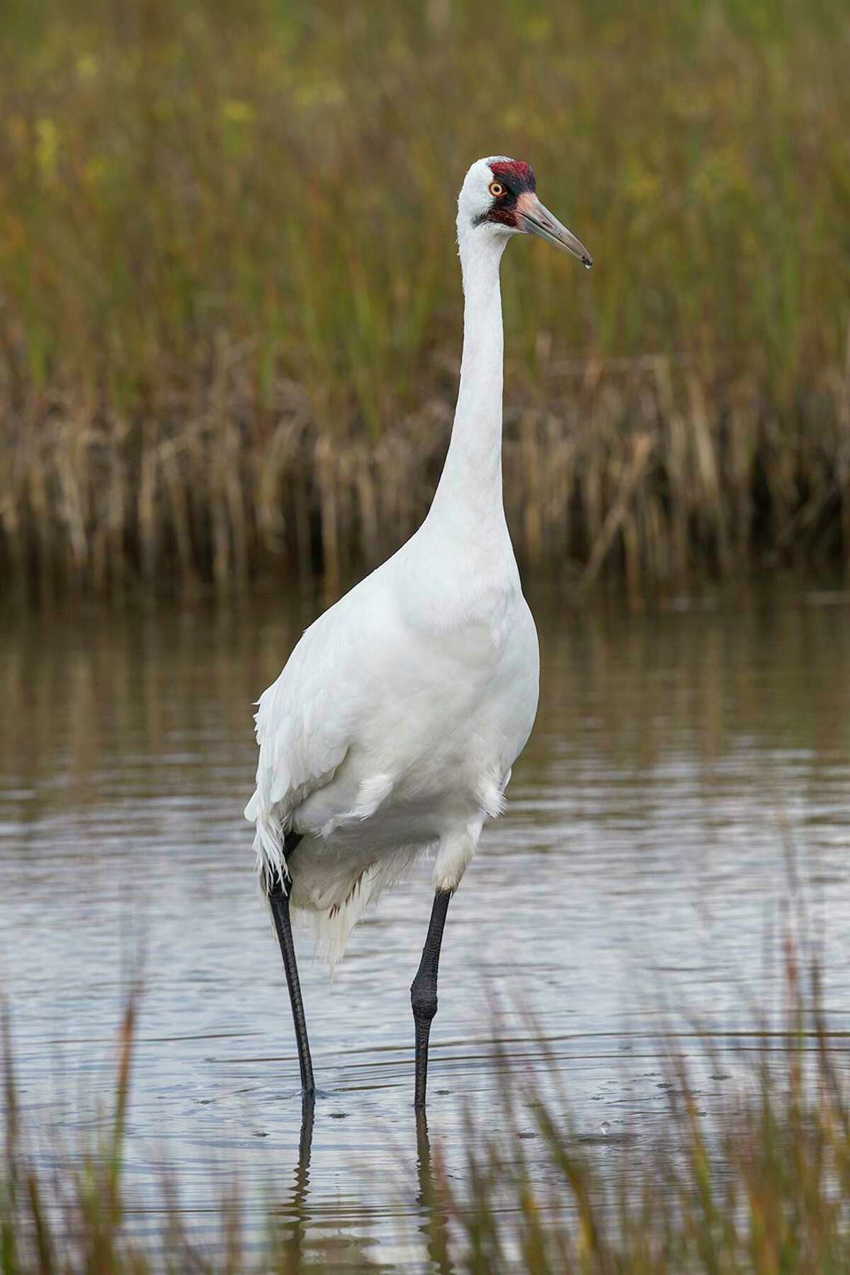 Whooping cranes are the tallest birds in North America. Their recovery depends on building flock numbers in different locations. This bird is a member of the flock that winters at Aransas National Wildlife Refuge.