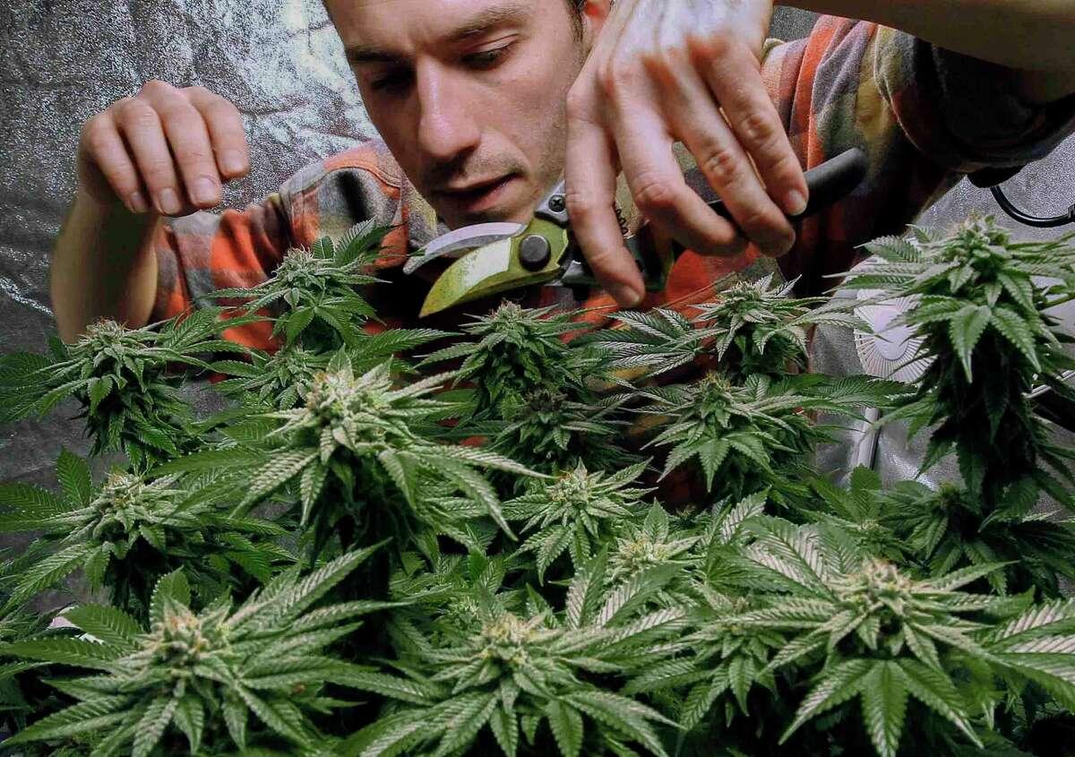 Marijuana under cultivation