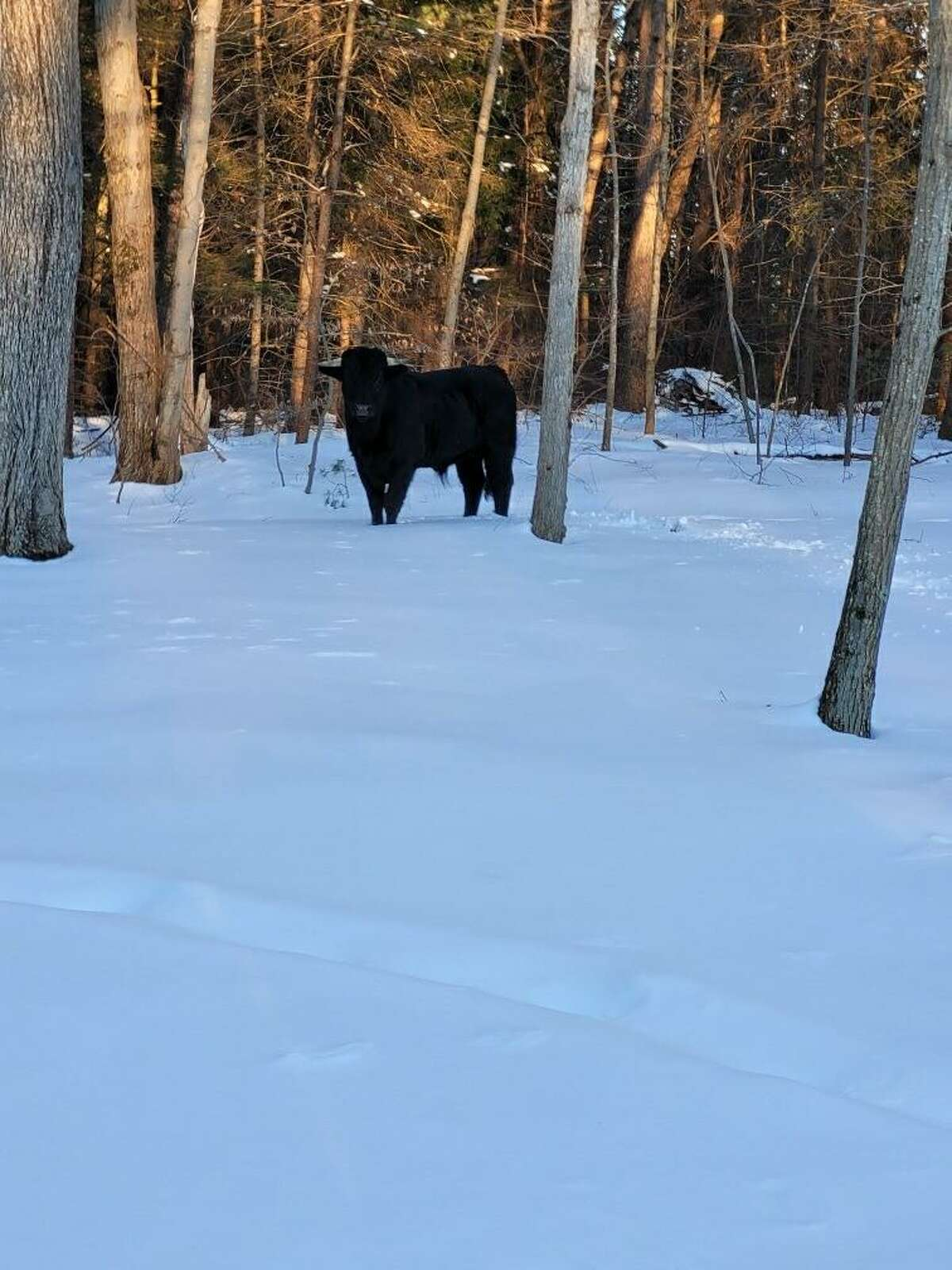 Buddy the beefalo seen in February.