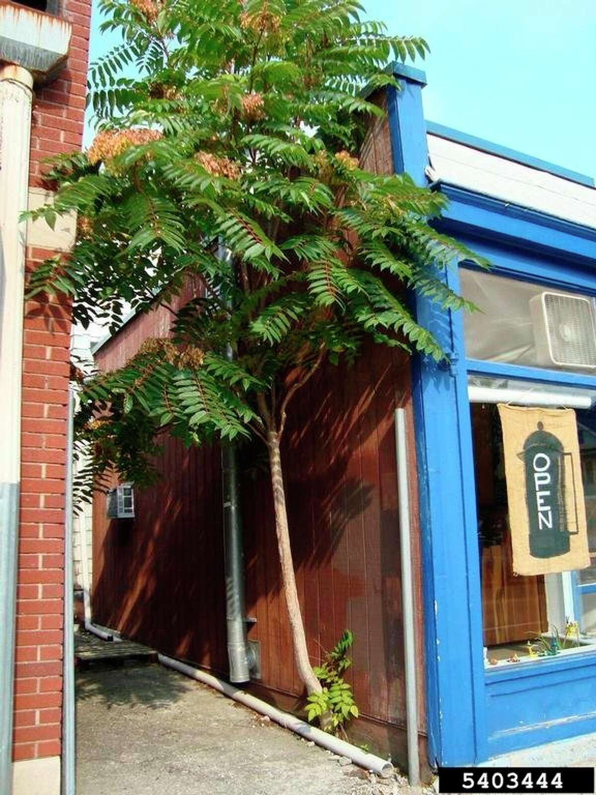 Pictured is a tree-of-heaven growing against a building. (Photo courtesy of Annemarie Smith, ODNR Division of Forestry)