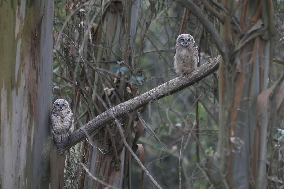 Great horned owlets perch in a tree in Glen Canyon Park in San Francisco.