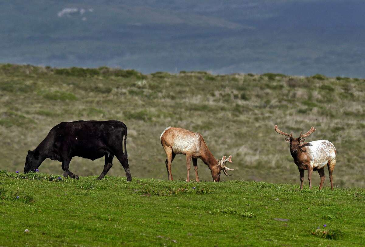 Two tule bull elk graze next to cattle in a field along Drake's Beach Road at the Point Reyes National Seashore in April 2020.