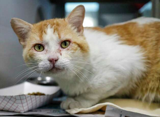 Hunk (A571486) is a 6-year-old, male red/white Domestic Shorthair cat available for adoption from Harris County Pets. Hunk is a special needs cat. He has FIV (feline immunodeficiency virus). FIV is untreatable and might reduce his lifespan, cats can thrive with these conditions and still have live long, fruitful lives. Hunk has been highly touted by Harris County staff to be very friendly and adoptable. He would make a great companion in loving homes that wouldn't mind caring for their special needs. He is very chill. Photo: Karen Warren, Staff Photographer / @2021 Houston Chronicle