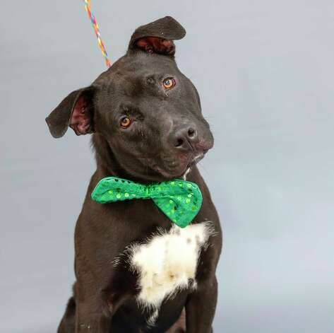 Wally (A571495) is a 1-year-old, male Labrador retriever mix available for adoption from Harris County Pets. Wally's owner was caught on surveillance video last week leaving him tied up at a North Harris County gas station. He was tied to a pole and abandoned. He is a sweet boy. Photo: Karen Warren, Staff Photographer / @2021 Houston Chronicle