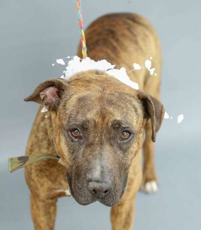 Bubbles (A568756) is a 4-year-old, female, brindled American Staffordshire mix available for adoption from Harris County Pets. Bubbles was featured by the Chronicle last month, and was adopted and returned for chasing the adopter's cat. Bubbles was one of three dogs that were brought to Harris County Pets on February 23 after their owner had passed away, and family members opted not to have custody of them. Bubbles is a friendly and loveable lady who can get along with other dogs with minimal supervision. Bubbles also has heartworm disease, which is serious, but treatable, and if she gets adopted, her treatment is free at Harris County Pets though the Heal-a-Heart program, made possible by financial support from the community. Photo: Karen Warren, Staff Photographer / @2021 Houston Chronicle