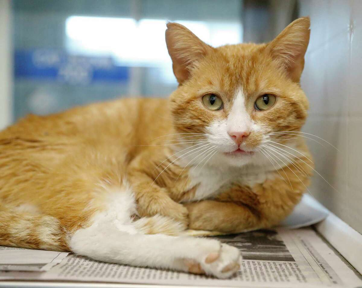 Tom Ford (A571067) is a 3-year-old, male Orange tabby Domestic Shorthair cat available for adoption from Harris County Pets. Tom Ford is a special needs cat. He has FIV (feline immunodeficiency virus); and he also has FeLV (Feline Leukemia Virus). Although both types of virus are untreatable and might reduce his lifespan, cats can thrive with these conditions and still have live long, fruitful lives. Tom Ford has been highly touted by Harris County staff to be very friendly and adoptable. He would make a great companion in loving homes that wouldn't mind caring for their special needs. He is very chill.