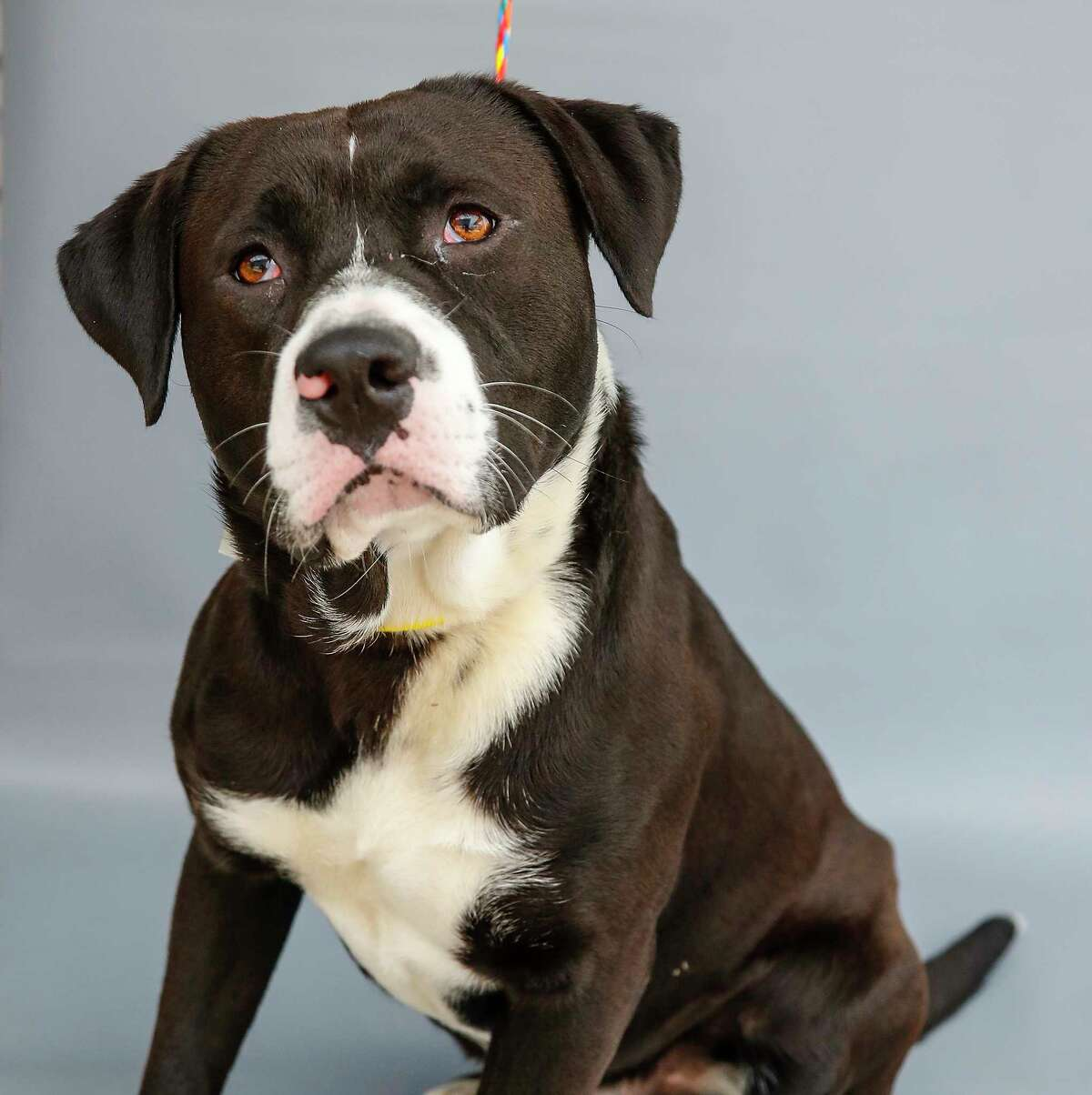 Marshall (A571035) is a 3-year-old, male American Pit Bull/Border Collie mix available for adoption from Harris County Pets. Photographed Wednesday, April 21, 2021, in Houston. Marshal was brought into the shelter as a stray nearly a month ago. He knows the command for
