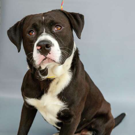 """Marshall (A571035) is a 3-year-old, male American Pit Bull/Border Collie mix available for adoption from Harris County Pets. Marshal was brought into the shelter as a stray nearly a month ago. He knows the command for """"sit"""" and loves treats. His adoption fee is waived! Photo: Karen Warren, Staff Photographer / @2021 Houston Chronicle"""