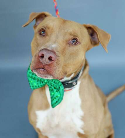 Casey (A566693) is a 5-year-old, male American Staffordshire mix available for adoption from Harris County Pets. Casey was surrendered by his former owner, who reports that he is housebroken, travels well in the car and on a leash. He loves men and women. Photo: Karen Warren, Staff Photographer / @2021 Houston Chronicle