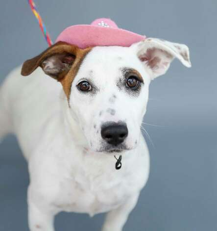 Nova (A571110) is a 4-month-old, female white/brown Bull Terrier mix available for adoption from Harris County Pets. Nova was adopted out but returned due to the husband having allergies. She travels well on a leash and loves men, women and children. Photo: Karen Warren, Staff Photographer / @2021 Houston Chronicle