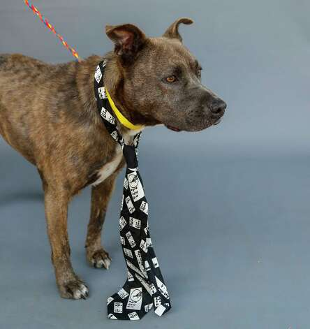 Roscoe (A570987) is a 4-year-old, male Pit Bull mix available for adoption from Harris County Pets. Roscoe was surrendered by his owner due to the owner moving with elderly parents. Rosco is housebroken, travels well in the car and on a leash, and he loves men, women and babies. Photo: Karen Warren, Staff Photographer / @2021 Houston Chronicle