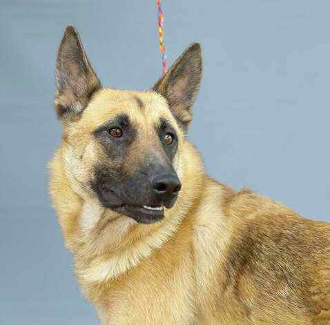 Hazel (A571415) is a 1-year-old, female German Shepherd mix available for adoption from Harris County Pets. Hazel was adopted and returned, as she did not get along with the owner's other dog. Photo: Karen Warren, Staff Photographer / @2021 Houston Chronicle