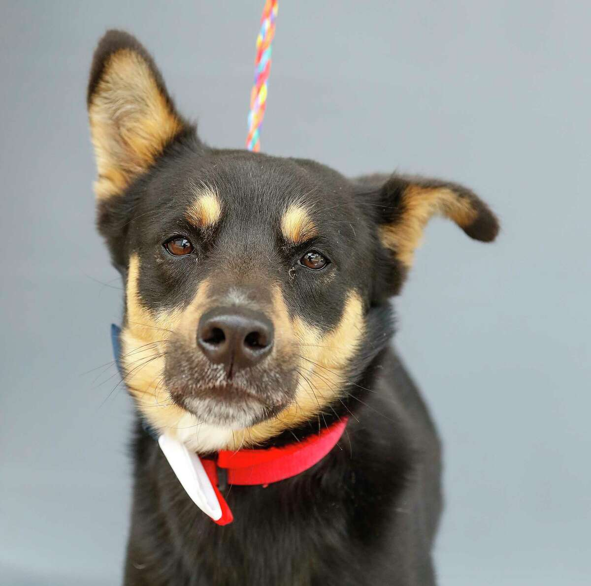 Chase (A571812) is a 2-year-old, male German Shepherd mix available for adoption from Harris County Pets. Photographed Wednesday, April 21, 2021, in Houston. Chase was surrendered by his owners as he was not a good fit for small children. He loves other dogs, men and women.
