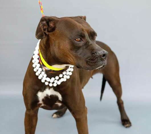 Bebe (A570670) is a 3-year-old, female black Boxer mix available for adoption from Harris County Pets. Bebe was surrendered by her owner and has been in the shelter for nearly a month. She would be best suited in a house without other dogs, but loves men and women, and may need a refresher course in obedience. She is a sweet girl and the shelter has waived her adoption fee, so she is free. Photo: Karen Warren, Staff Photographer / @2021 Houston Chronicle