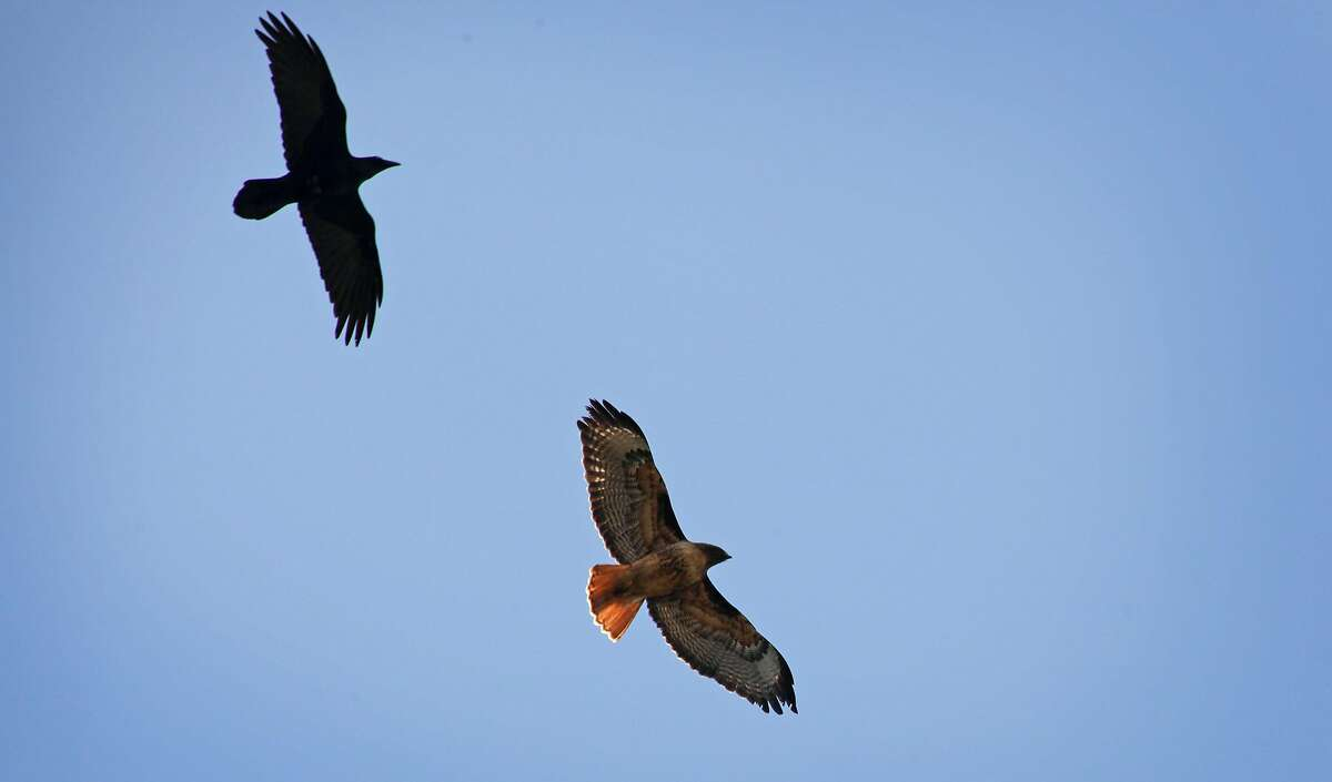 Volunteers for Hawkwatch identify raptors, like this red-tailed hawk (center).