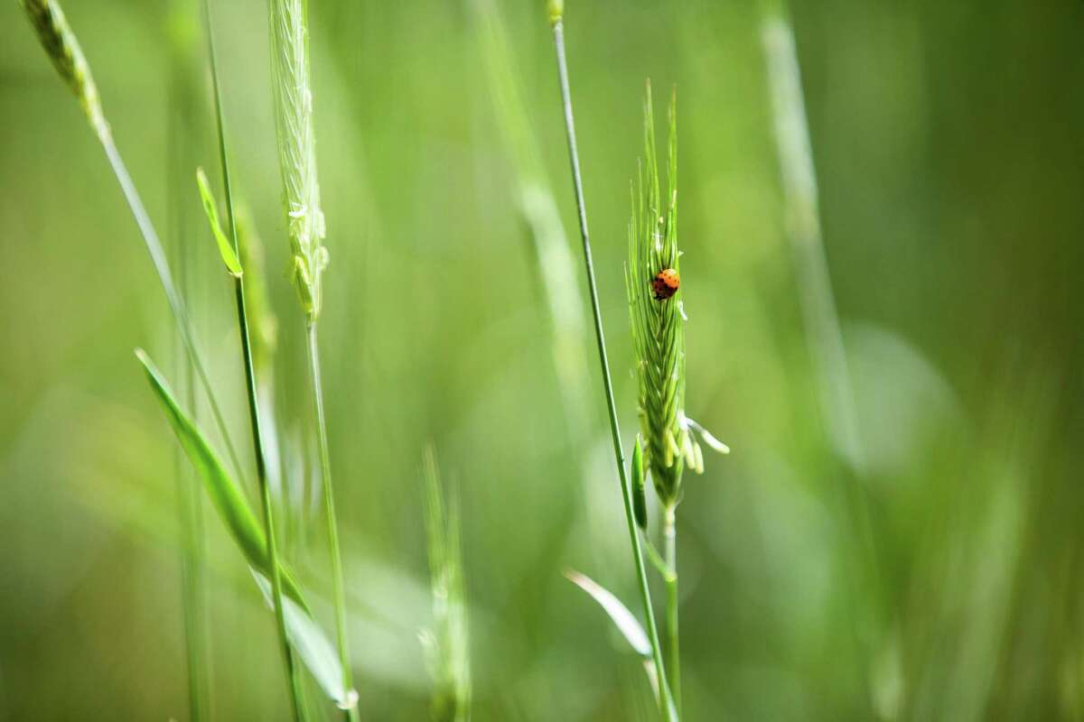 A ladybug on a Cereal Rye at Hermann Park, Tuesday, April 20, 2021, in Houston. Cereal Rye has been planted as part of efforts to nourish the underground ecosystems of the park's soil.