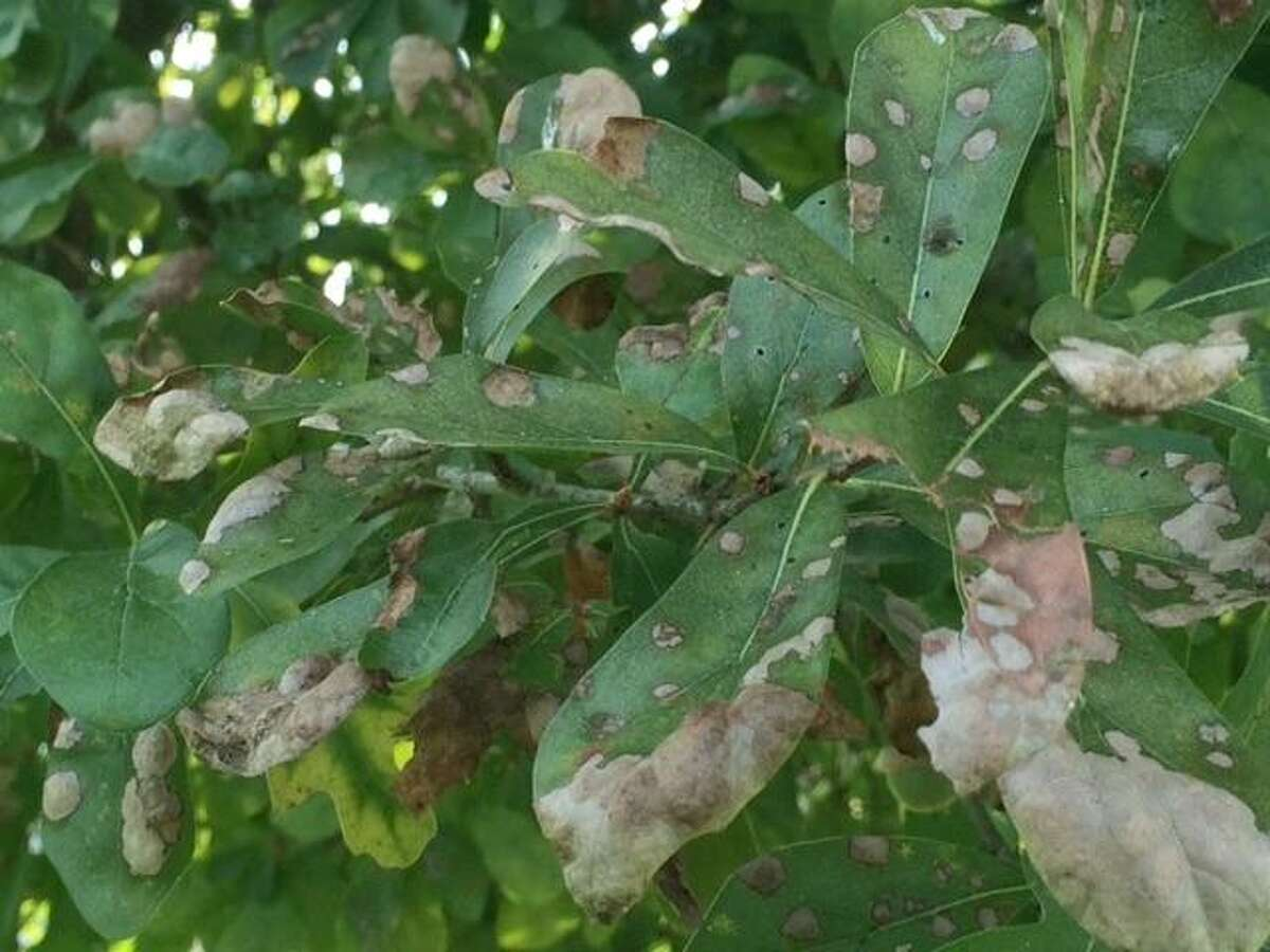 Abnormal weather will trigger certain problems associated with many oak species in Texas. Oak leaf blister is one of those problems. During the early stages of bud break and leaf development, spores from the fungus Taphrina caerulescens infect the buds and new growth.