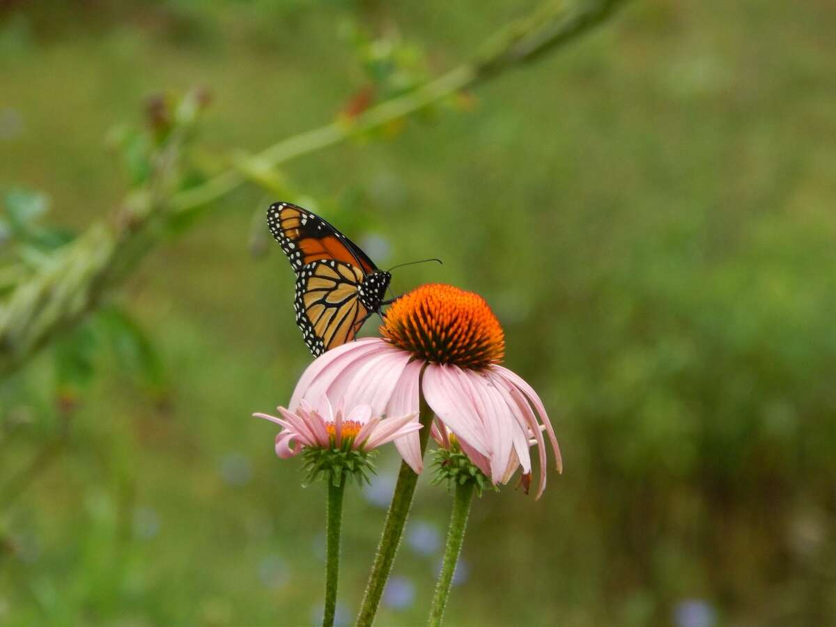 Though many think of pollinator gardens or pathways as a way to save only honeybees, these oases of native plants are meant to re-establish habitat and food for a variety of pollinators, which in turn benefits all wildlife.
