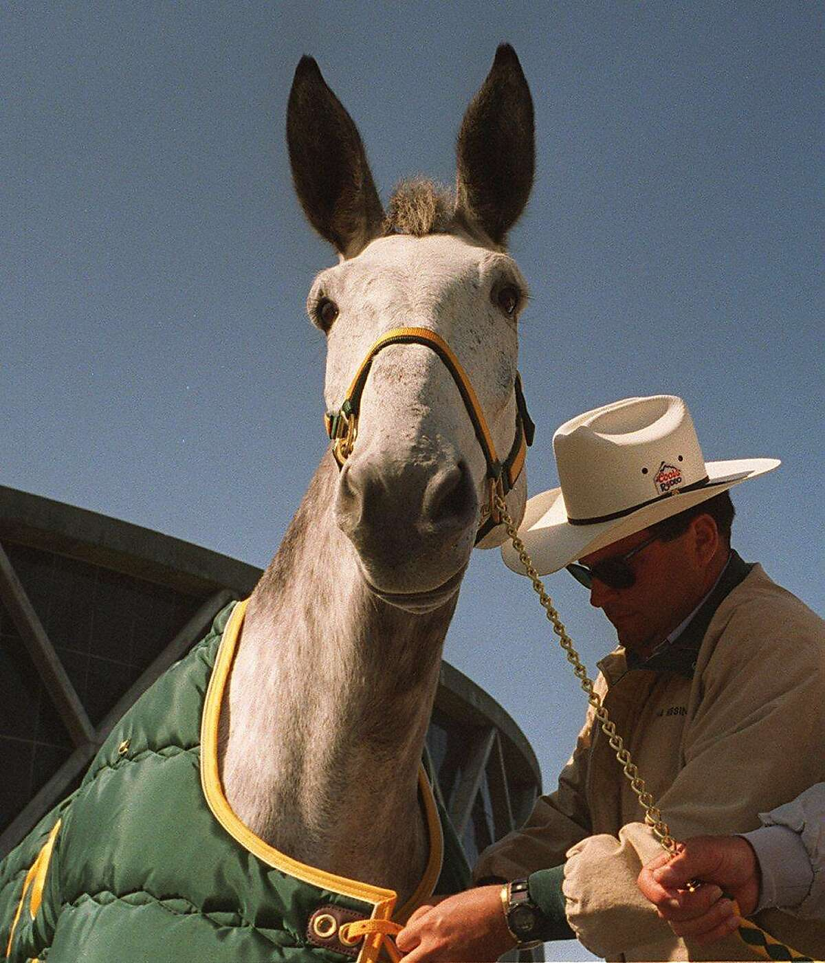 """Charlie """"O"""" II, the mule visited the Oakland Coliseum parking lot on May 10, 1996 with trainer Tony Amaral Jr."""
