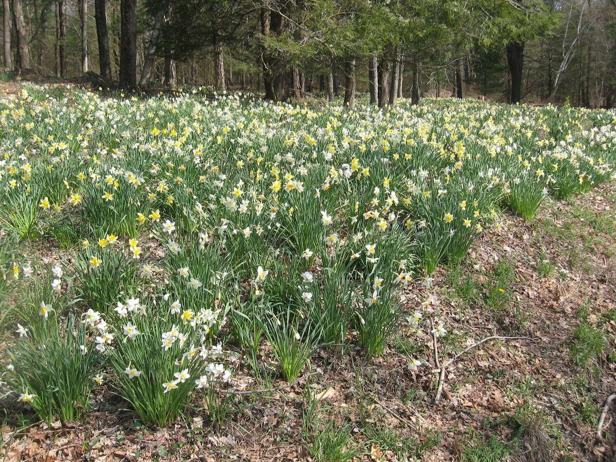 Laurel Ridge Farm in Northfield is in full bloom with thousands of daffodils. The display draws visitors daily from around Connecticut and beyond.