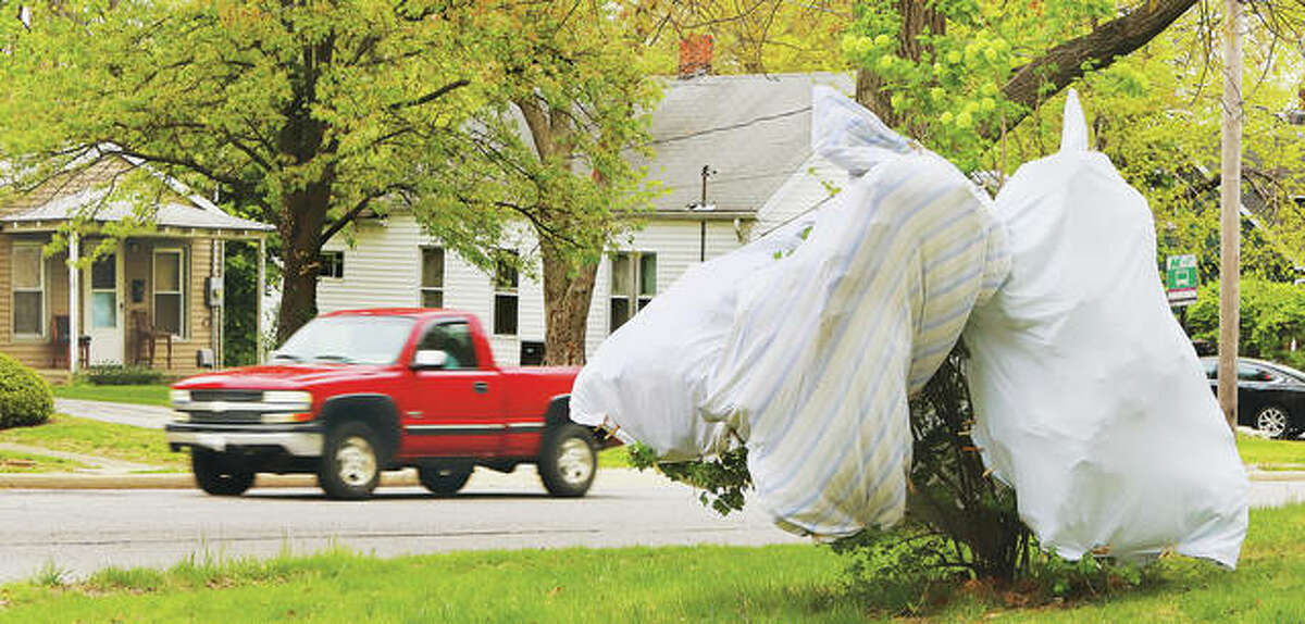 It was a common sight Tuesday to find where people were protecting their spring plantings from the hard frosts by wrapping them in sheets. Traffic passes a wrapped bush Tuesday on the corner of Spaulding and Brown streets in Alton.