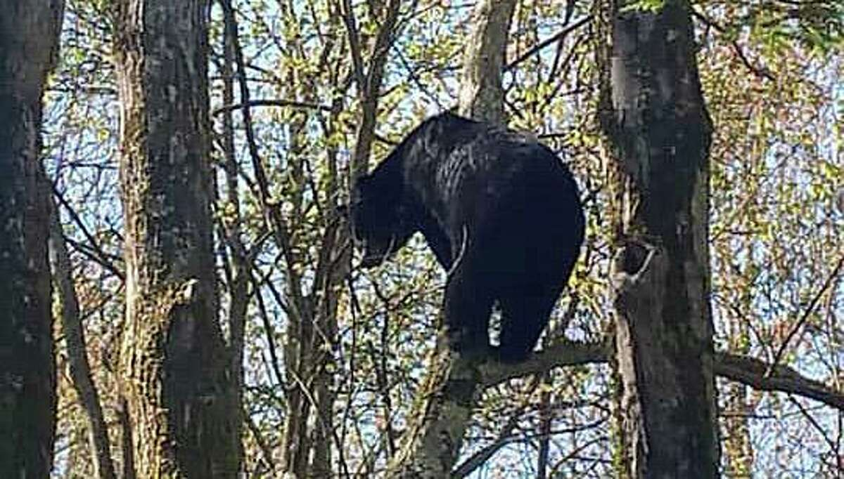 A bear that was rescued from Queen Street in Southington, Conn., and let free in a wooded area on Tuesday, April 20, 2021.