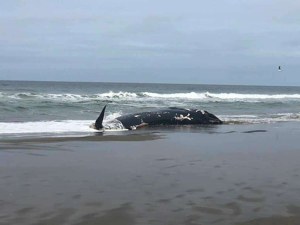 The body of a whale washed ashore at Fort Funston on Saturday, April 24.