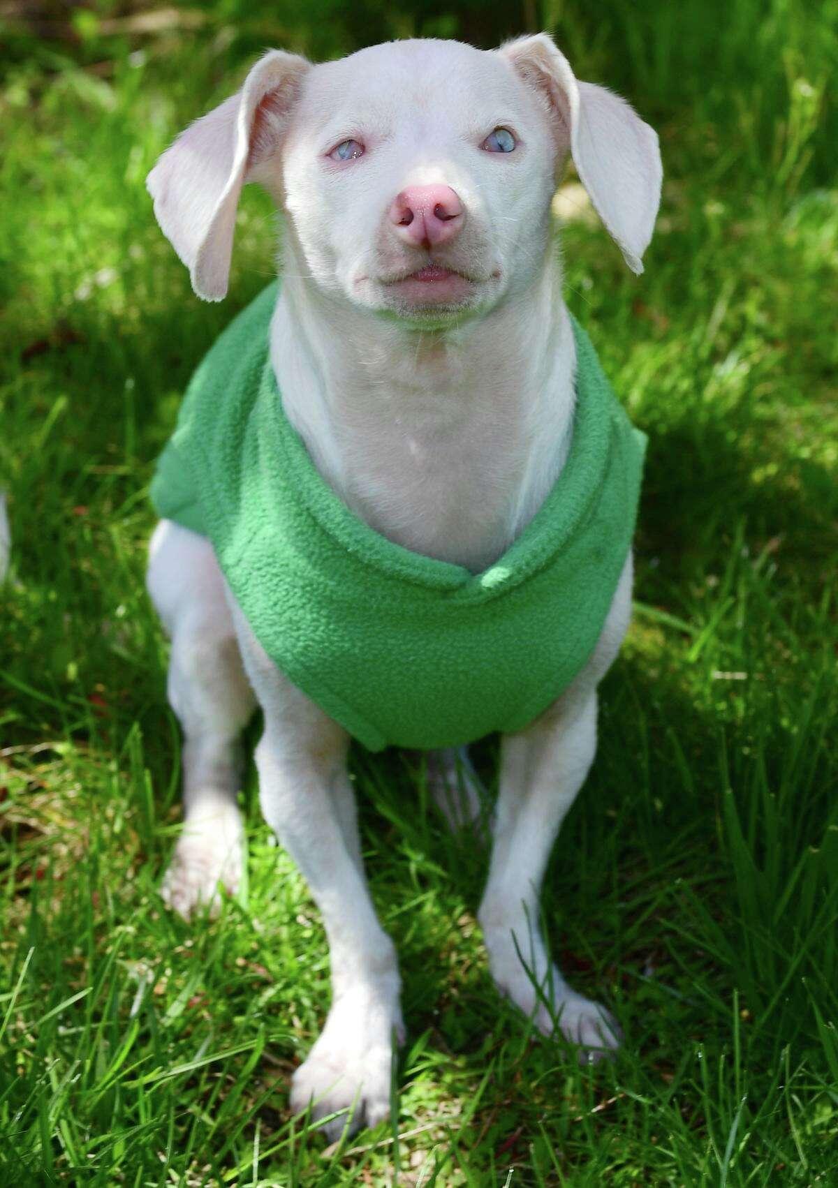Veterinarian Melissa Shapiro's dog Piglet at their Westport home last week.