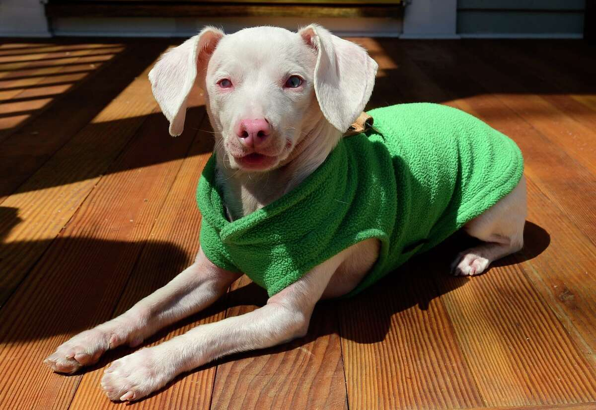 Veterinarian Melissa Shapiro's dog Piglet at their home April 23, 2021, in Westport, Conn. Shapiro adopted Piglet, a deaf, blind and pink dog back in 2017. She created an Instagram account for him and uses it spread kindness to more than 220,000 followers. The duo now have a book coming out this summer.