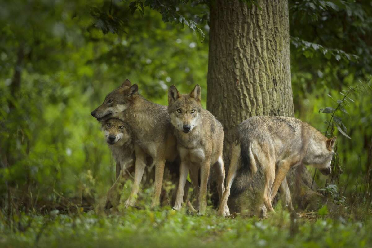 Wash. wildlife officials authorize lethal removal of two wolves