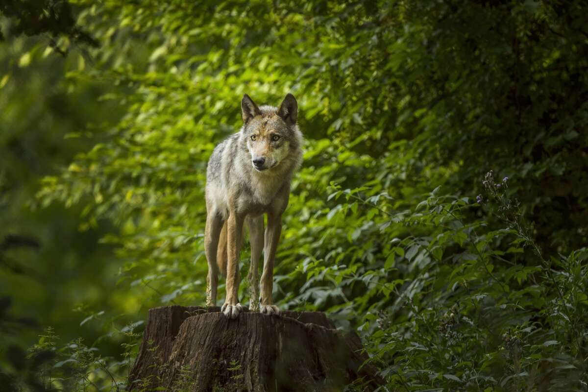 A new male gray wolf - dubbed OR-103 - was seen in northeastern Siskiyou County on May 4, following a similar journey to OR-93, a gray wolf that traveled from Oregon to San Luis Obispo County.This is a stock image of a gray wolf.