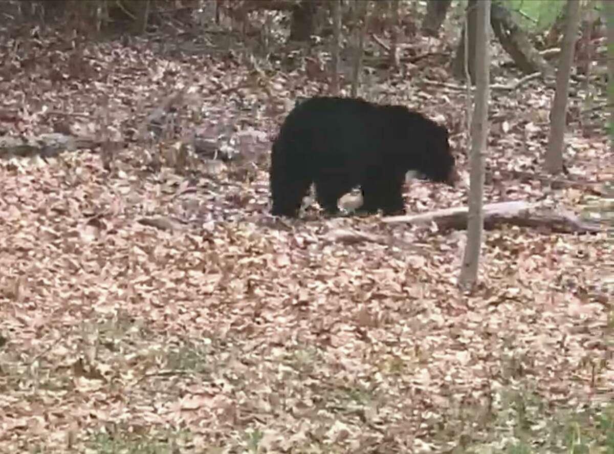 A bear spotted in a yard in the Mount Carmel neighborhood of Hamden.