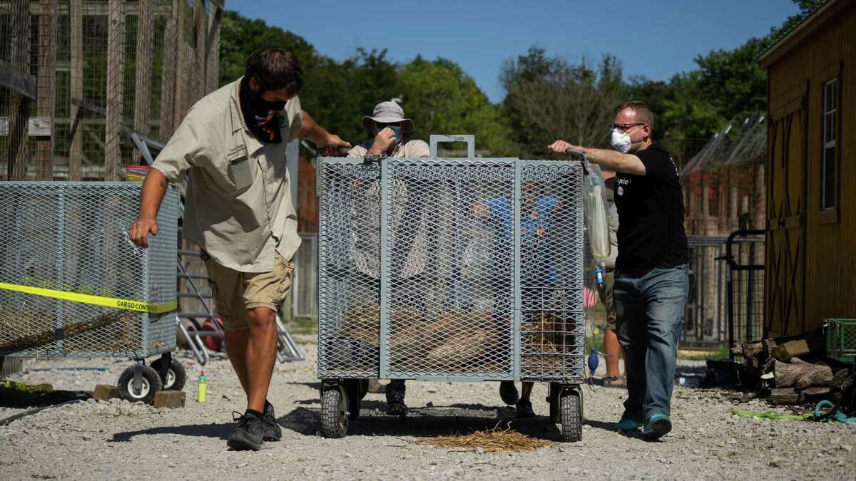Asher Smith, right, and representatives of Turpentine Creek Wildlife Refuge, an accredited sanctuary based in Eureka Springs, Ark., rescue a female lion, Mauri, from Tim Stark's Indiana facility, Wildlife in Need. Mauri was one of 25 big cats rescued in September 2020 as a result of court orders in Smith's litigation against Stark.