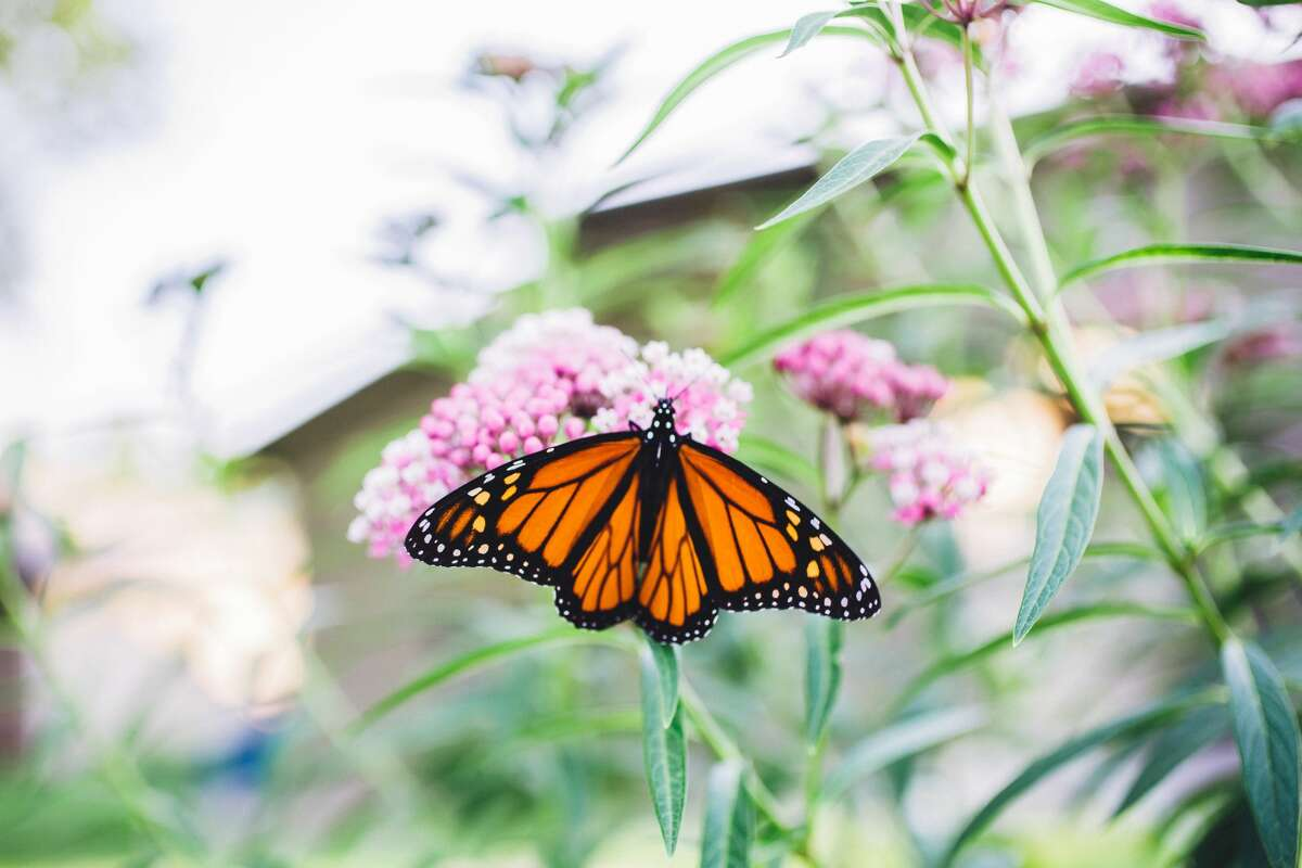 """Monarchs completely rely on milkweed, says Klasen-Daoud, which can boast orange, white or pink blooms. Right now Phantom Gardener only carries the seed, though they do stock the plant later in the planting seasons. Though growing perennials from seed is more economical than buying a starter plant, they typically take two seasons to flourish. """"It's not instant gratification,"""" she says."""