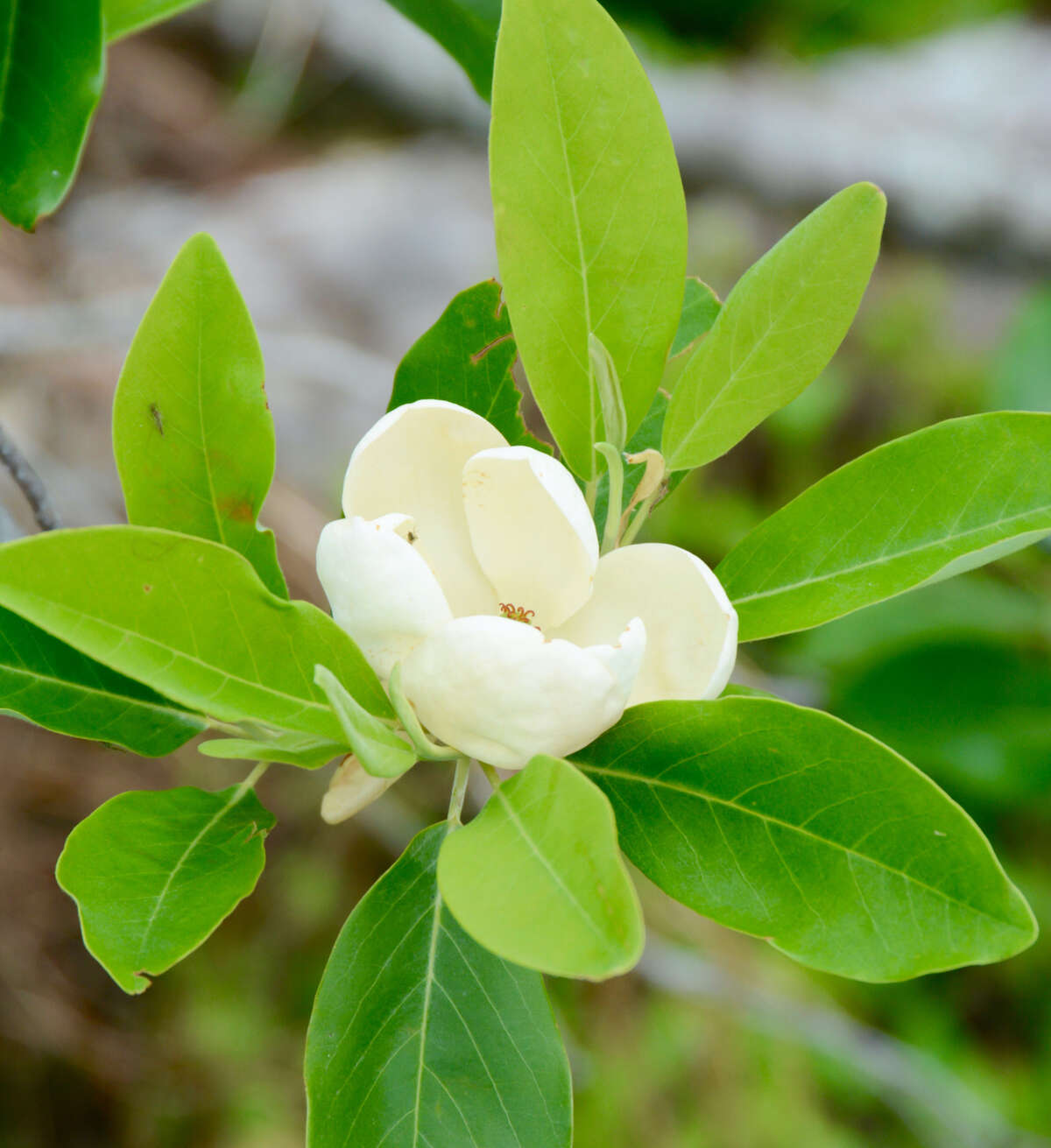 The sweet bay magnolia is the best magnolia for the Northeast, says Julianne Klasen-Daoud, store manager at Phantom Gardener in Rhinebeck.