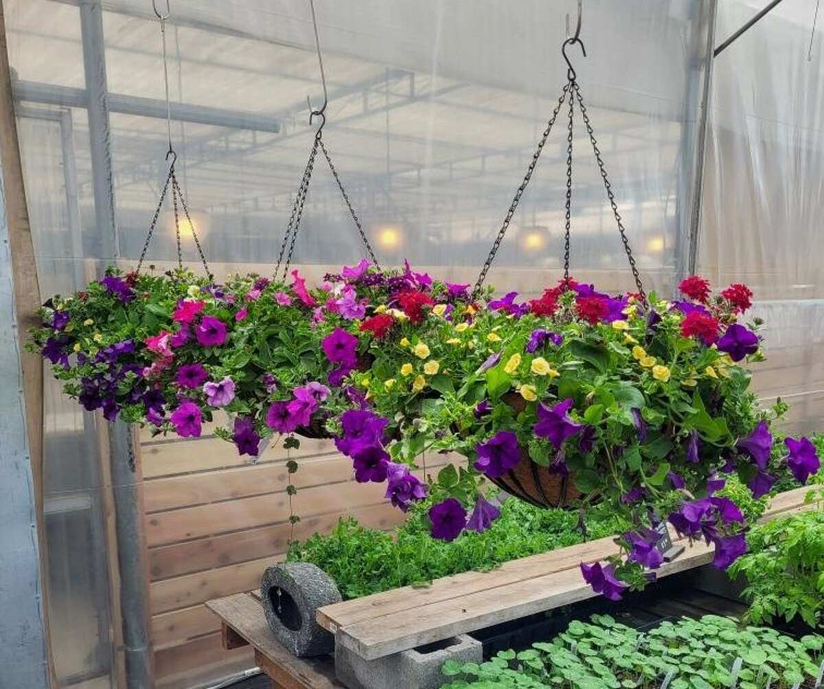 Hanging baskets from Skagit Acres.