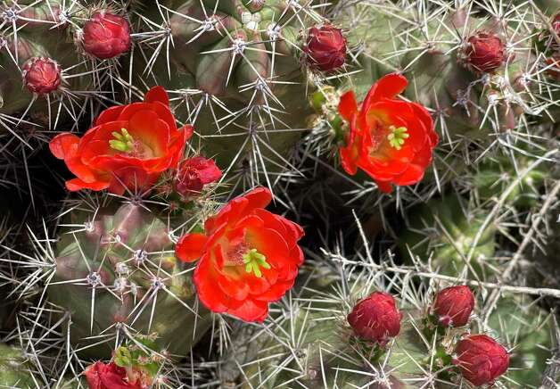 A claret cactus blooms in Big Bend National Park. Photo: Melissa Aguilar/Houston Chronicle
