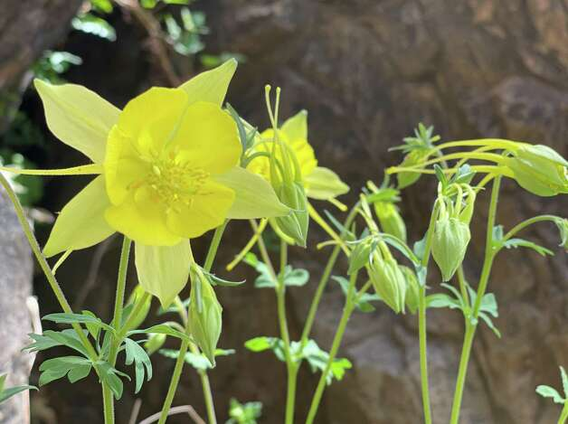 Yellow columbine at Big Bend's Cattail Falls. Photo: Melissa Aguilar/Houston Chronicle