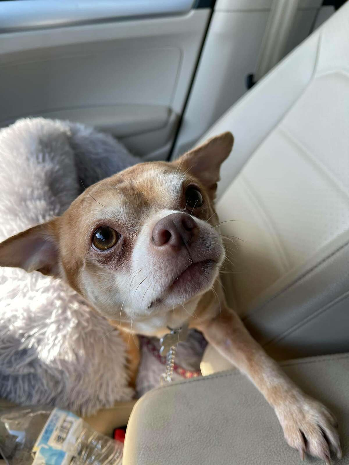 Prancer, a 2-year-old chihuahua that was recently adopted in New Haven.
