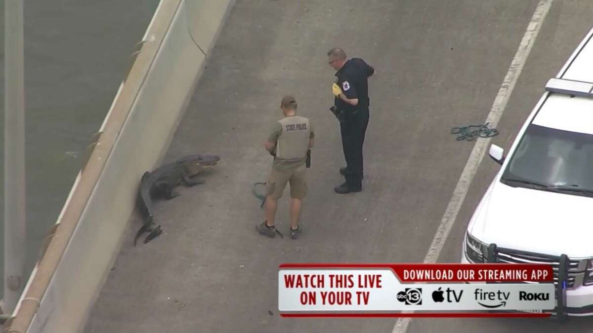 Footage from ABC13's SkyEye helicopter shows the moment before police wrangled an alligator on the Fred Hartman Bridge near Baytown.