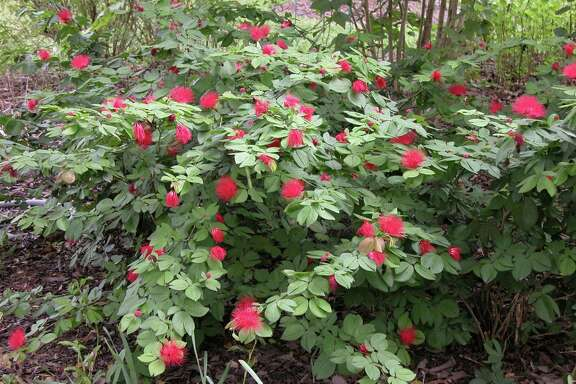 Calliandra  (powderpuff shrub) will be slow to grow back from the winter freeze, but should be fine.