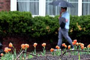 Tulips along the State Street lane divider got a heavy soaking as rain fell across the Capitol Region on Thursday afternoon, April 29, 2021, in Albany, N.Y. (Will Waldron/Times Union)