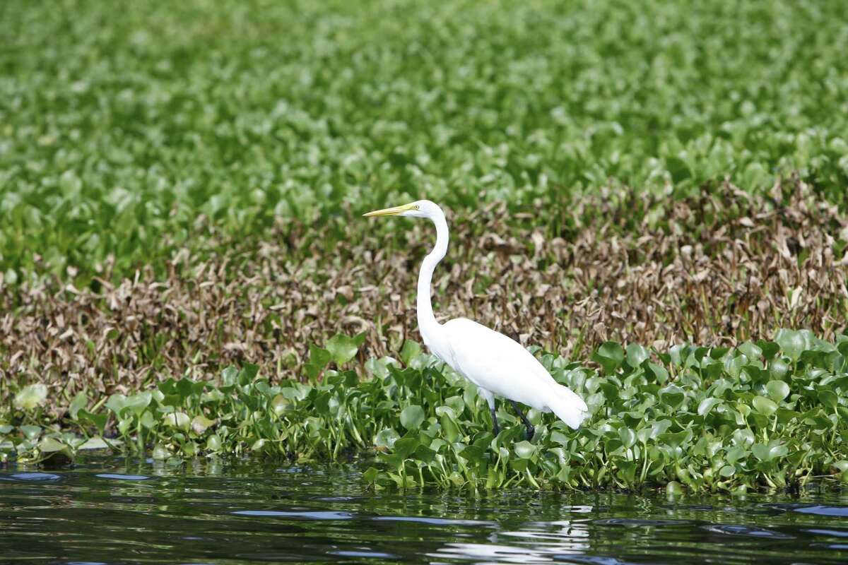 A great egret stands on a bed of native water hyacinth on Caddo Lake .