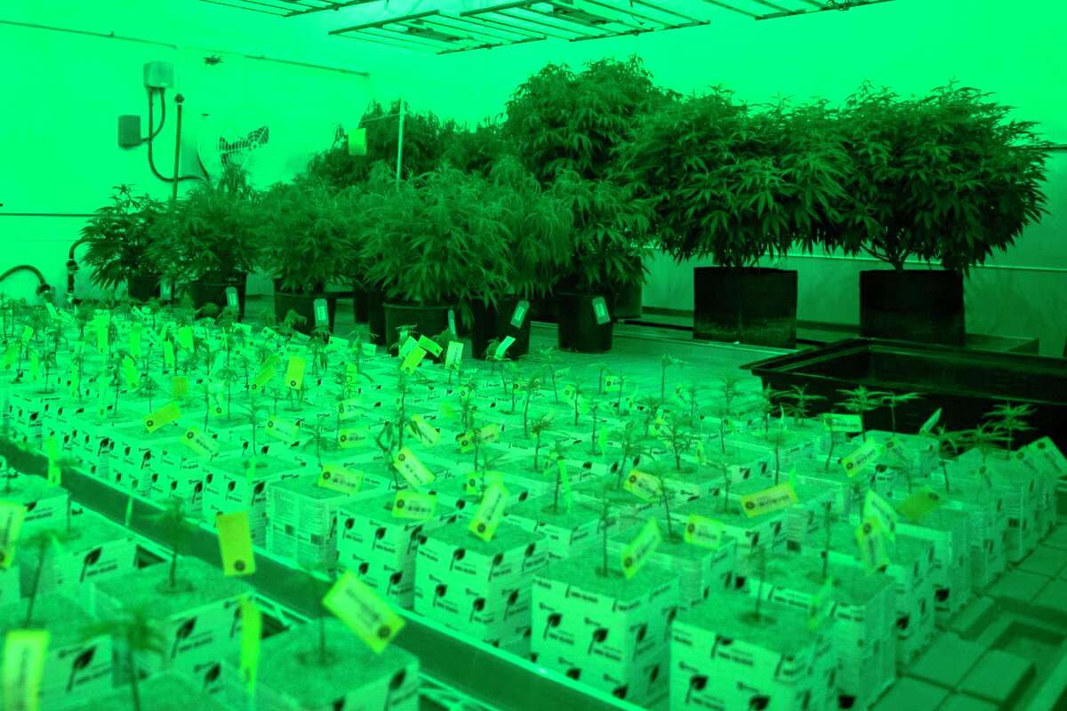 The mother cannabis plants that Texas Original Compassion Cultivation uses to clone their plants they use in their medical marijuana dispensary located outside of Austin.