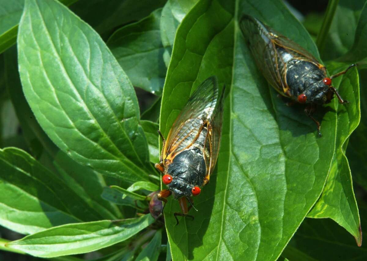Newly emerged adult cicadas dry their wings May 16, 2004 at a park in Washington, D.C. After 17 years of living below ground, billions of cicadas belonging to Brood X begin to emerge across much of the eastern United States. The cicadas shed their larval skin, spread their wings, and fly out to mate making a tremendous noise in the process. (Photo by Alex Wong/Getty Images)